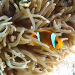 Clownfish - Marsa Alam, Egypt - August 8, 2011