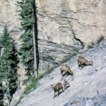 Female Bighorn Sheep with Calf - Between Banff and Jasper, Alberta, Canada - Summer 1990