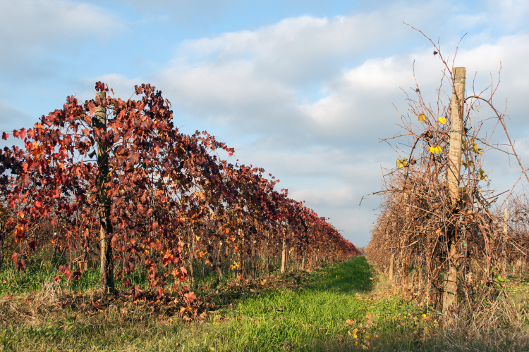 Vineyard - Fellegara, Scandiano, Reggio Emilia - December 2, 2012