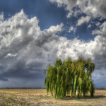 Weeping Willow - Sant'Agata Bolognese, Bologna, Italy - August 31, 2012