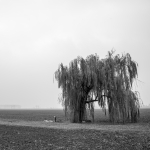 Weeping Willow - Sant'Agata Bolognese, Bologna, Italy - November 26, 2012